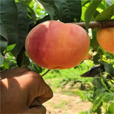 一年黄金蜜桃树苗 黄桃树苗品种纯正 基地直销晚熟桃树苗 晚熟桃树苗基地