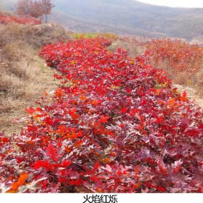 火焰红栎厂商-火焰红栎-舜枫农林