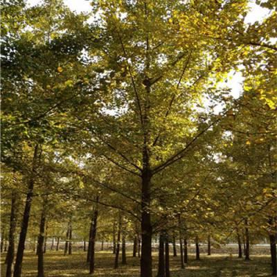 7公分银杏树批发-银杏树基地(在线咨询)-银杏树批发