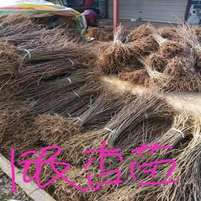 银杏苗 陕西汉中货源 银杏苗价格1米高度0.3元起量大质量好价格低
