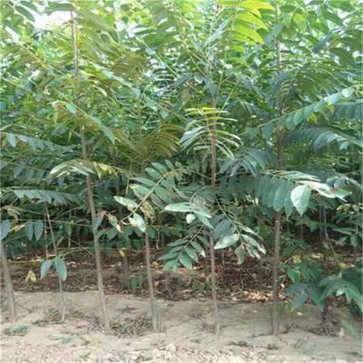 大棚香椿苗大量出售 红油香椿苗基地 大棚香椿苗价格 0.8公分香椿苗价格优惠