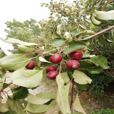 3公分苹果苗种植管理 烟富苹果苗多少钱一棵