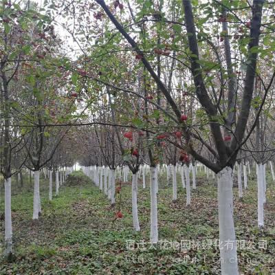 8公分木瓜树价格便宜 包成活率