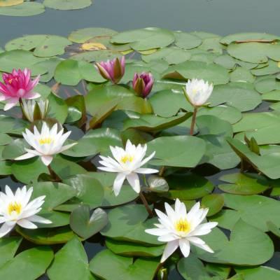 莲藕种根 水生植物荷塘植物供应