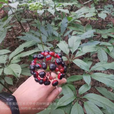 云南普洱思茅竹节参种植野三七栽培方法批发商价格