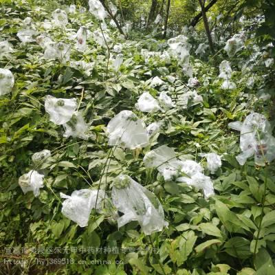 云南西双版纳勐海竹节参产地野三七栽培管理图片视频