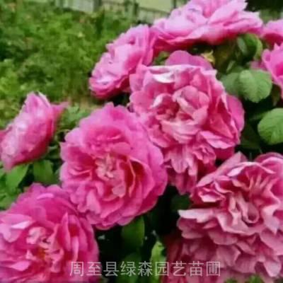杨凌牡丹批发 红花重瓣观赏牡丹 正品保证 周至绿森园艺苗圃