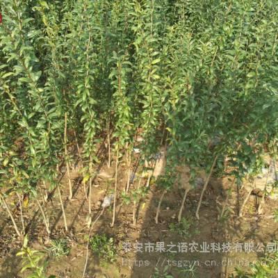 水晶石榴树苗、水晶石榴树苗今年价格、软籽石榴苗