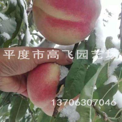 大果冬雪蜜桃树苗 新品种桃树苗 南方桃树苗