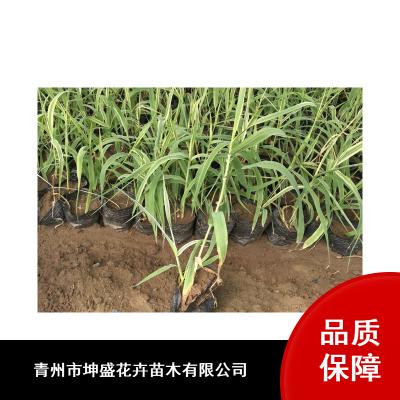 河南金鱼藻营养钵苗批发_园林水生植物_景观水生植物