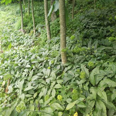 贵州贵阳小河野三七种苗野三七怎么种植野生和家种的区别