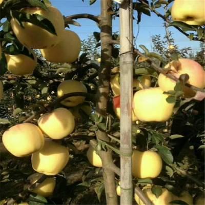 苹果苗哪家好 低价出售鲁丽苹果苗 维纳斯黄金苹果苗货源地