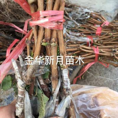 浙江阳光玫瑰葡萄苗批发 日本晴王 基地直销 量大优惠