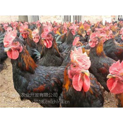 陕西榆林养殖五黑鸡苗免费技术指导,优质鸡苗,可空运发货,价格从优