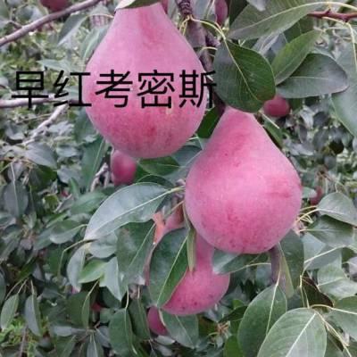 青岛早酥红梨费用 全国均可发货