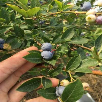 兔眼蓝莓苗哪里有、蓝莓苗种植基地、批发价格、兔眼蓝莓苗哪里便宜
