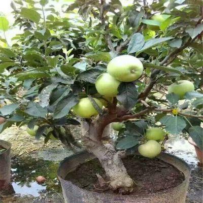 山东泰安批发苹果苗 苹果苗几年结果 批发鲁丽苹果苗 维纳斯黄金苹果苗批发价格 1.5米红富士苹果苗批