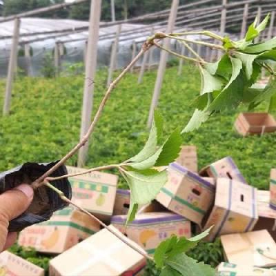 批发护坡绿化杯苗,求购五叶地锦价格咨询