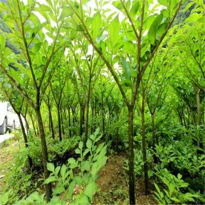 云南魔芋种子 贵州魔芋种子 黄魔芋跟花魔芋哪个好 湖北魔芋种植基地 欢迎实地考察