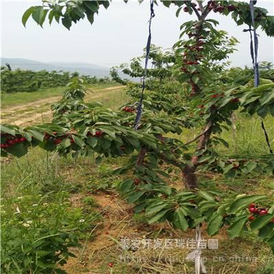 红玛瑙樱桃苗哪里便宜红玛瑙樱桃苗哪里有卖的