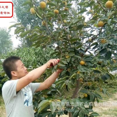 磨盘柿子苗 磨盘柿子苗价格 磨盘柿子苗现货销售