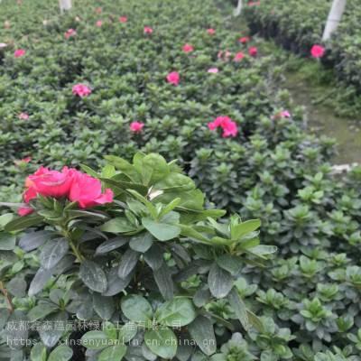 贵州重庆西洋鹃批发基地 比利时杜鹃小苗基地价格是杯苗