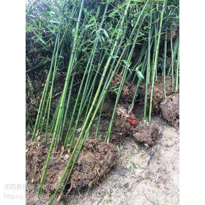 刚竹哪里便宜 刚竹哪里有卖的/河北/山东/山西/江苏