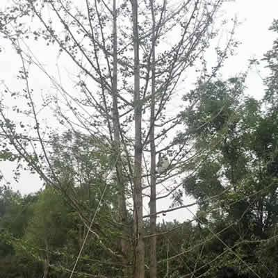 ***近银杏树多少钱-富丽银杏苗木合作社-新疆银杏树