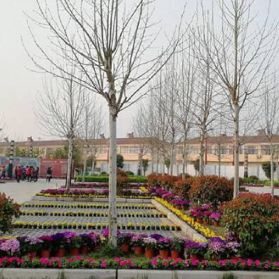 山东美丽农村绿化施工,淄博美丽乡村绿化苗木哪有