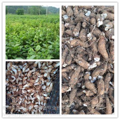 玄参种苗价 玄参芽子种植经济效益分析