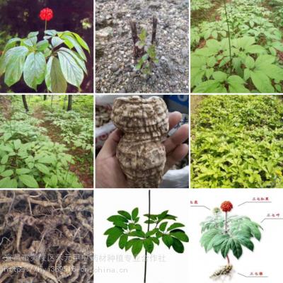 禾元甲安徽滁州竹节参种子 野三七种植药材赚钱