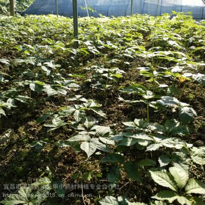 黄石阳新野三七怎么种植 竹节参种子种苗哪里有 竹节参种植经验