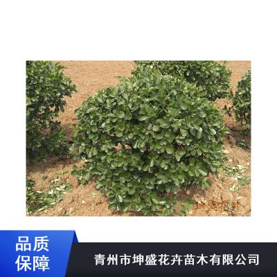 邢台三叶地锦工程苗_坤盛企业绿化苗木种植