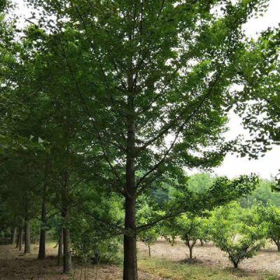 20公分银杏树 银杏树基地 霖松苗木 18公分银杏树价格