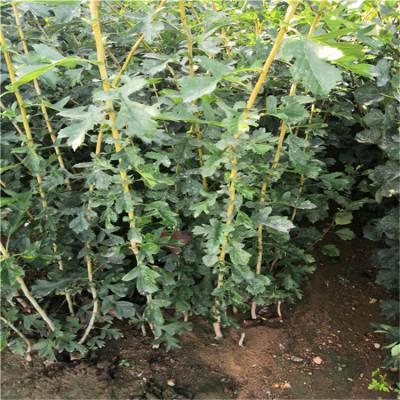 大五棱山楂苗哪里有卖 ***2公分棉球山楂苗 棉球山楂苗种植管理