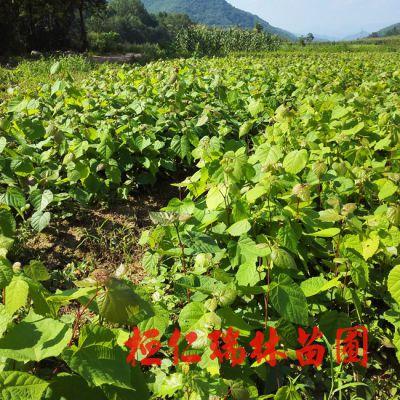 桓仁瑞林苗圃供应1-2年生椴树苗 紫椴树苗 辽宁椴树小苗 风景树