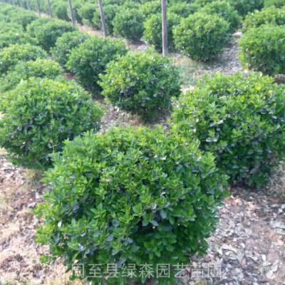 供应大叶黄杨球 周至大叶黄杨基地 50到1.2米冬青球 耐寒绿化苗木