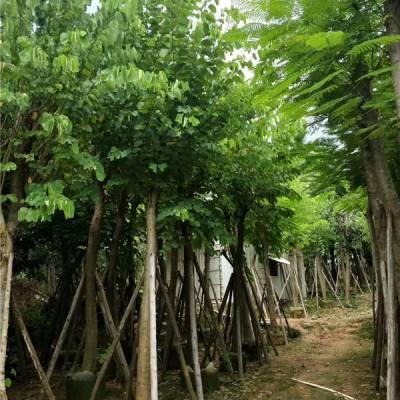羊蹄甲大型产地 8公分羊蹄甲袋苗88元 冠幅2米树形优美