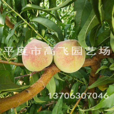 秋彤桃树苗 离核桃树品种 新品种桃树苗