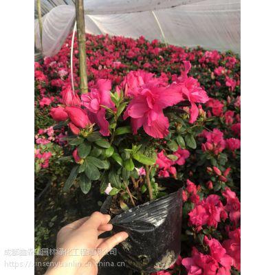 批发重庆西洋鹃 基地出售,猪年的西洋鹃工程苗价格是多少?