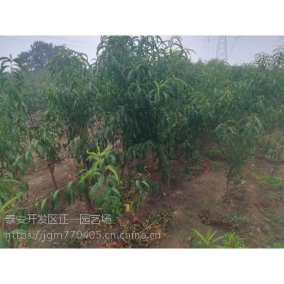 哪里批发桃树苗/2年结果 量大价优/品种桃树苗-正一园艺场