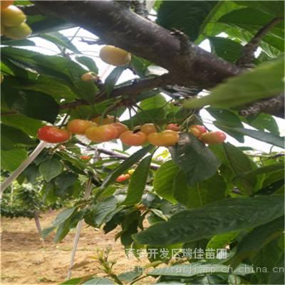 五公分矮化启早樱桃苗一棵多少钱