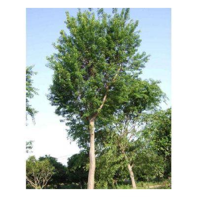 成都绿化工程高杆女贞直销 庭院小区树木高杆女贞树四季常青