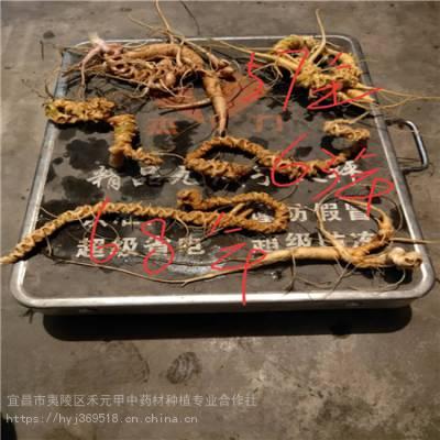 四川泸州野三七种植技术 竹节参农村致富赚钱 竹节参栽培方法