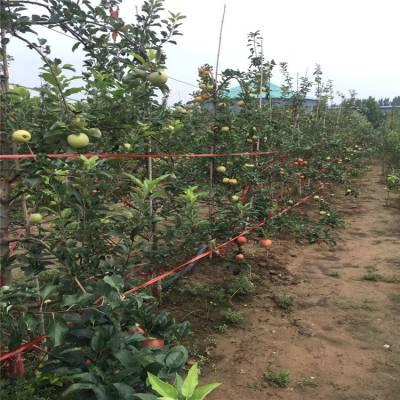鲁丽苹果苗批发价格 3公分维纳斯黄金苹果苗 维纳斯黄金苹果苗批发