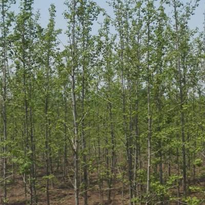 邳州富丽银杏苗木种植(图)-28cm银杏树价格-湖南银杏树