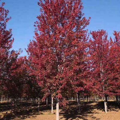 红冠红枫多少钱一颗 德祥苗木 10公分红冠红枫价格是多少