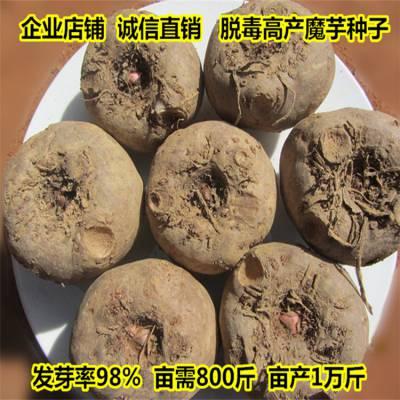 剑川魔芋种子 宣威魔芋销售市场 安顺魔芋种苗