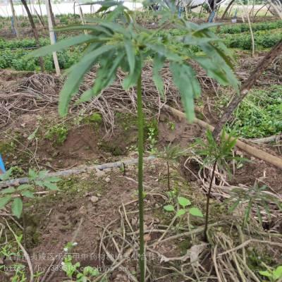 武汉江汉野三七如何种植 竹节参农村致富赚钱 竹节参种植基地