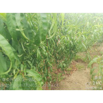 种植桃树苗 畅购无忧,好货价低,品种桃树苗-正一园艺场